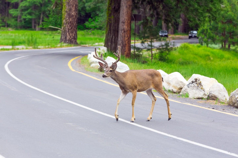 a deer crossing the street