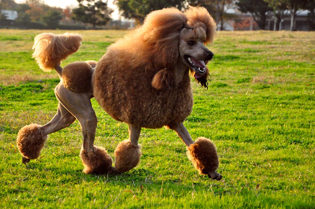 a poodle running through a field with a silly haircut