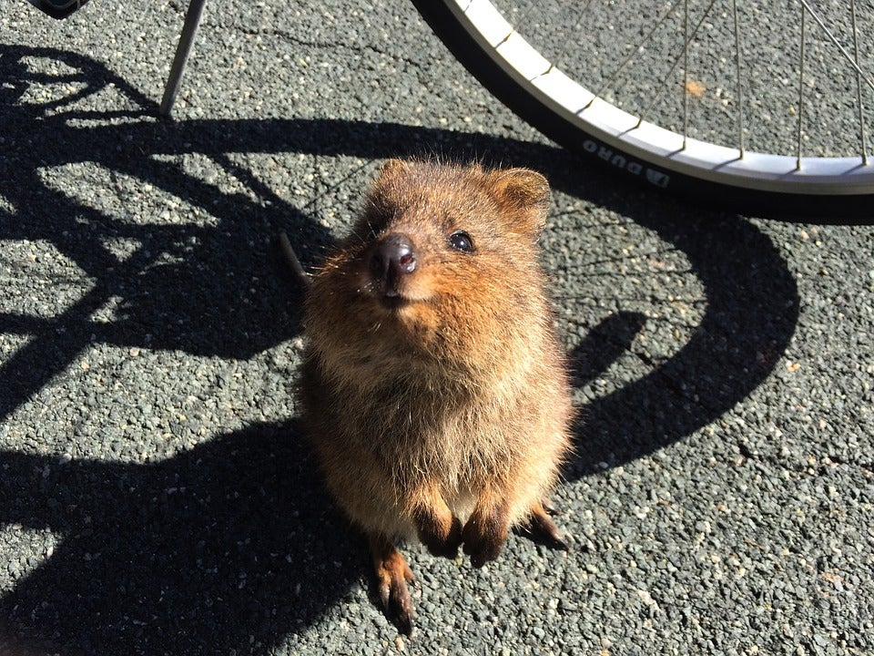 Quokka Australia Google Docs animals