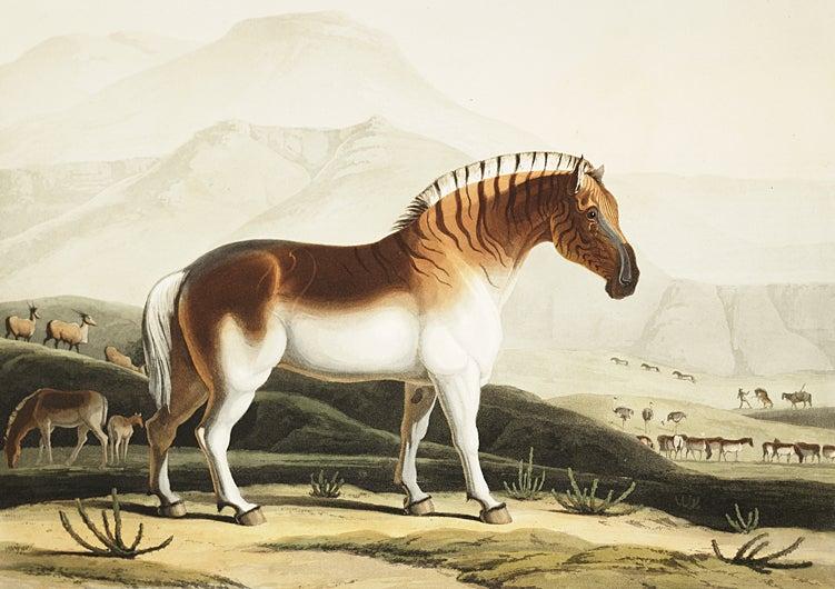 Quagga extinct zebra South Africa Google Docs anonymous animal