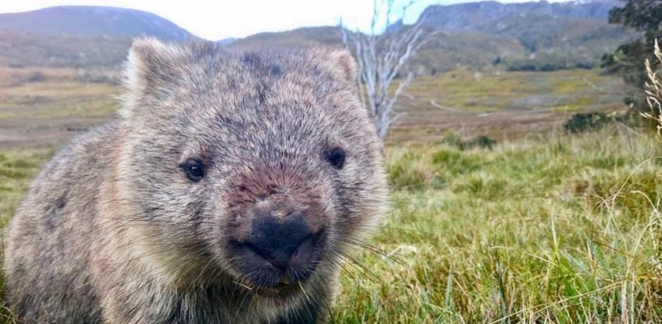 Wombat poop Google Docs animals