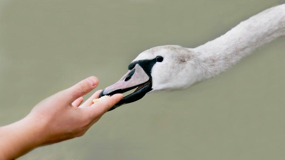 Human animal humanimal hand swan feeding