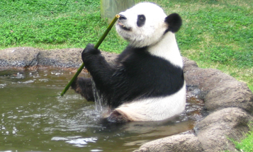 Pandas Might Be Painfully Pooping Out Their Gut Lining Each Year