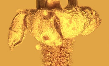 New Species Of Flower Found Preserved In Amber