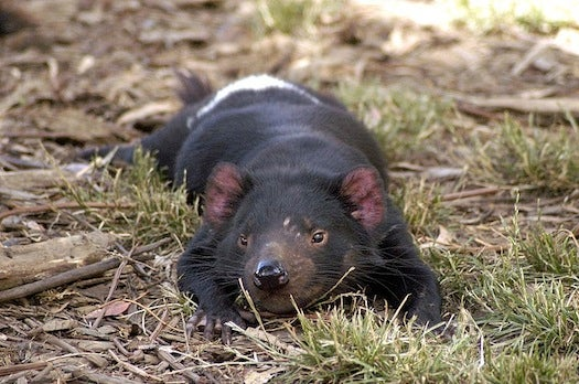 Researchers Sequence Tasmanian Devil Genome in Effort to Save the Species