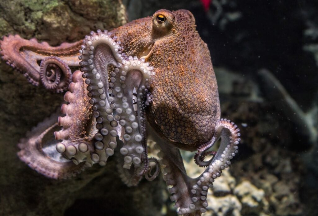 An octopus sits on a rock.