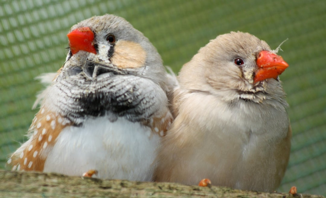 Zebra Finches Sing A Special Song To Warn Babies Of Hot Weather