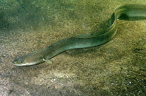 Eels Disappearing? Inconceivable!