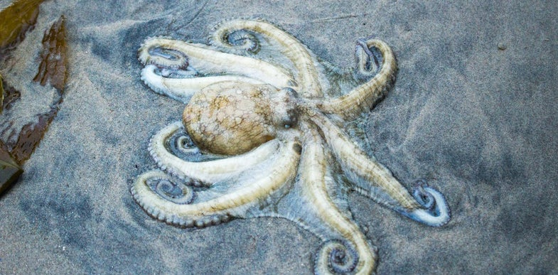 Senility, storms, global domination, and other possible reasons an army of octopuses showed up on a Welsh beach