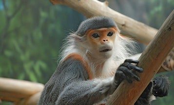 Zoo Monkeys Have Human Bacteria In Their Guts