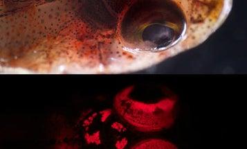 Fish Fluorescence Widespread: 180 Species Found To Glow