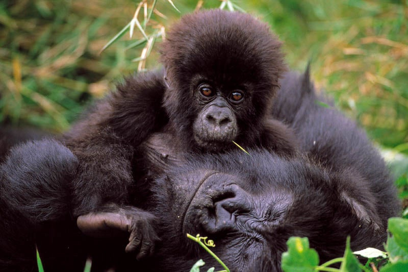 New Hope for Congo's Gorillas