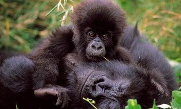 Fewer Mountain Gorillas Than Believed