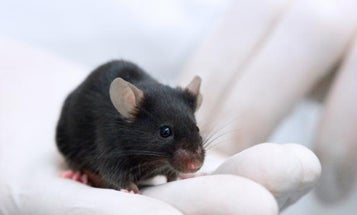 New Breed of Mice Retains Great Hearing (and Sex Lives) in Old Age