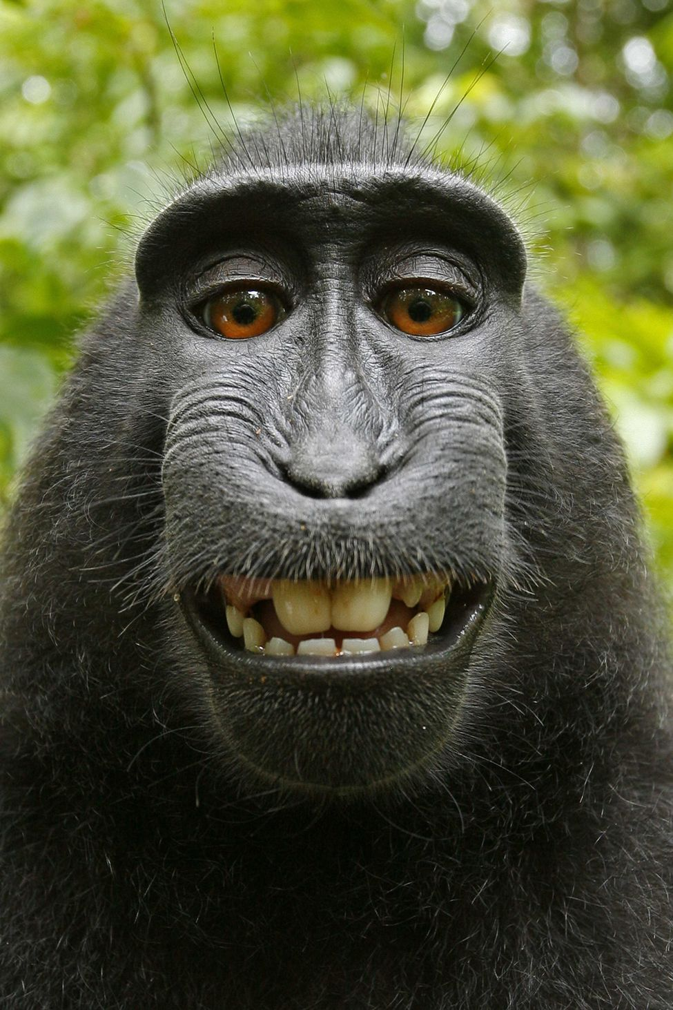 U.S. Copyright Office Denies Monkeys Rights To Their Selfies