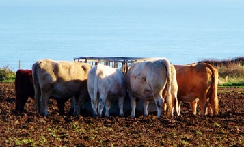 Antibiotics Go Airborne Near Big Cattle Yards