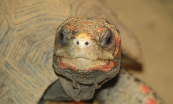 Tech-Savvy Tortoises Learn To Use Touchscreens