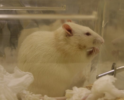 Lab Rats' Pampered Lifestyles Found to Skew Research Results