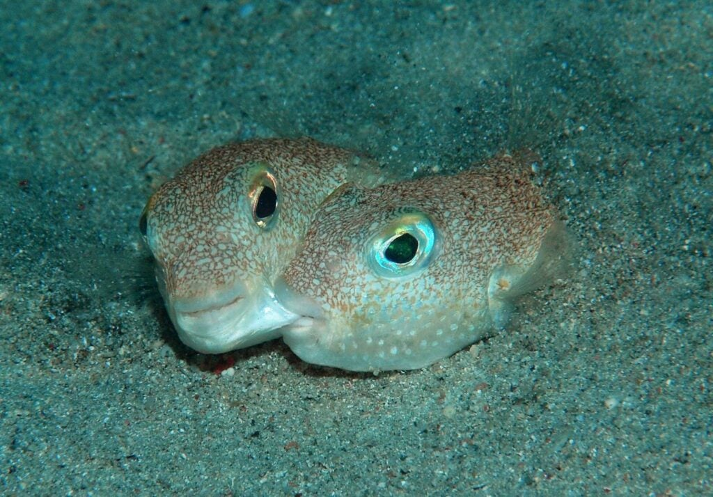 """pufferfish"""