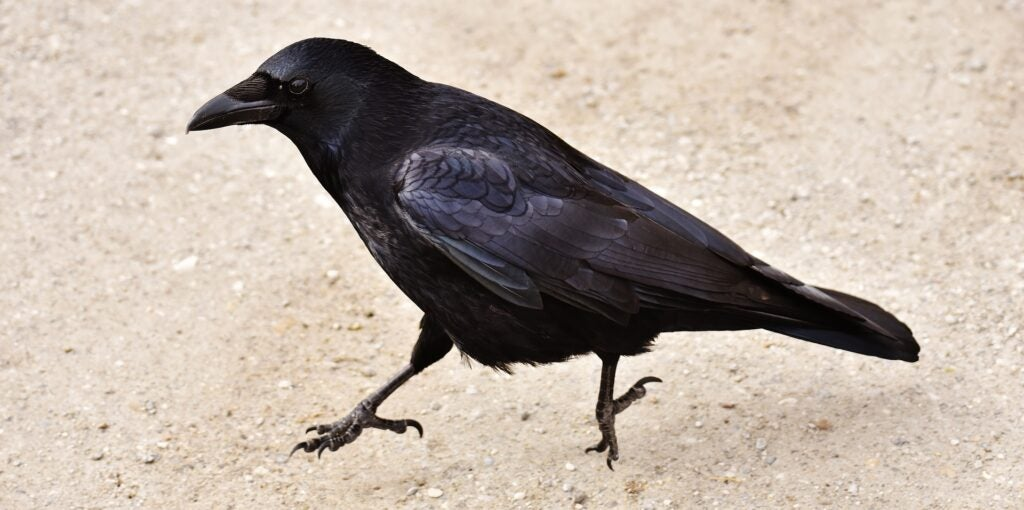 A crow hopping around, probably not looking for nicotine products.