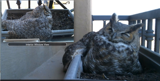 These Great Horned Owl Eggs Are About To Hatch [Live Video]