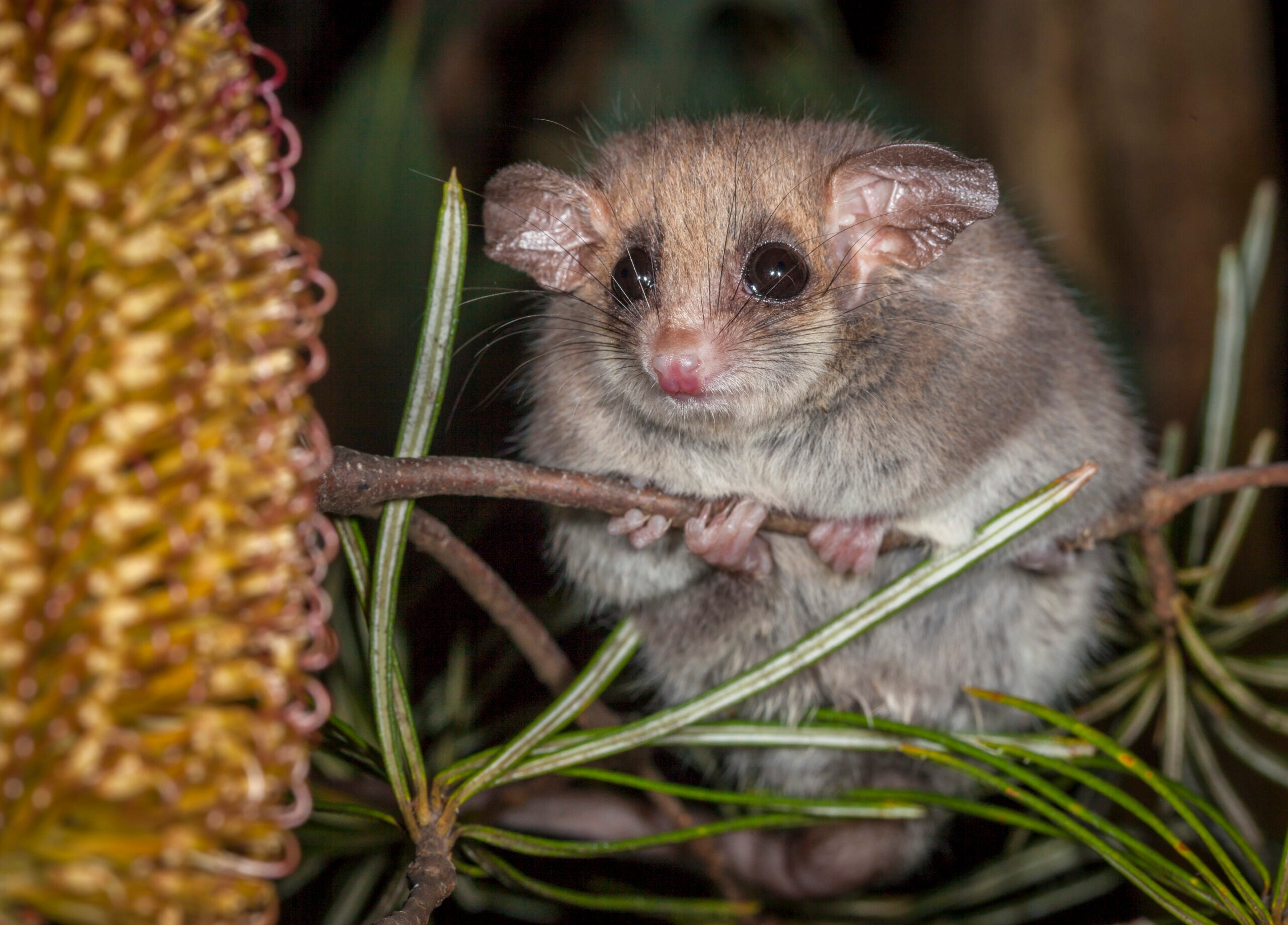 Tiny Pygmy-Possums Can Smell Smoke And Move While Dormant