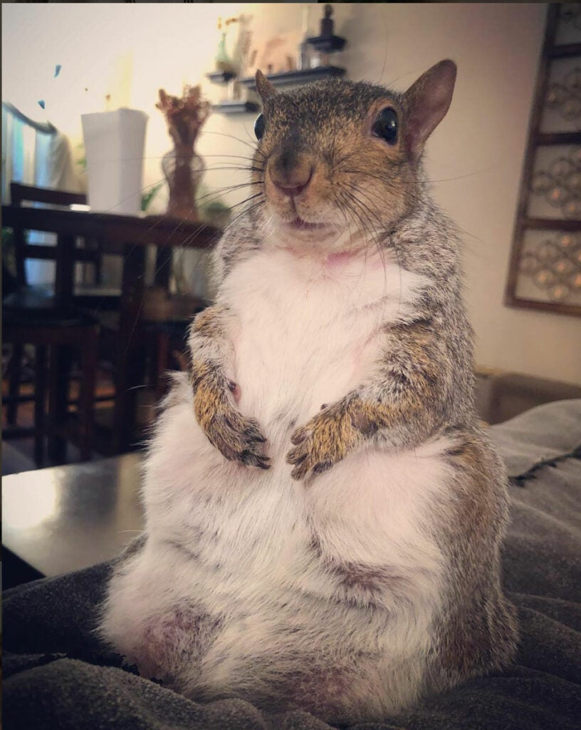 chubby pet squirrel