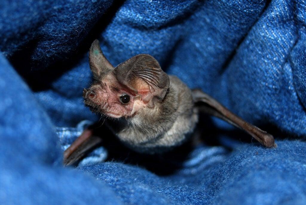 Bat in a blanket