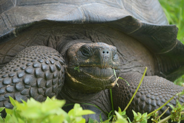 Discovered: A Brand-New Species of Giant Galapagos Tortoise