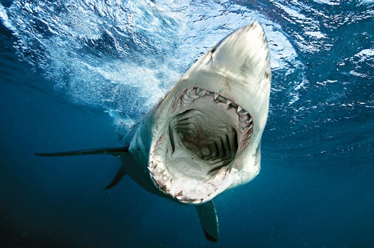 Great White Sharks Text Their Whereabouts, For Science and Swimmer Safety