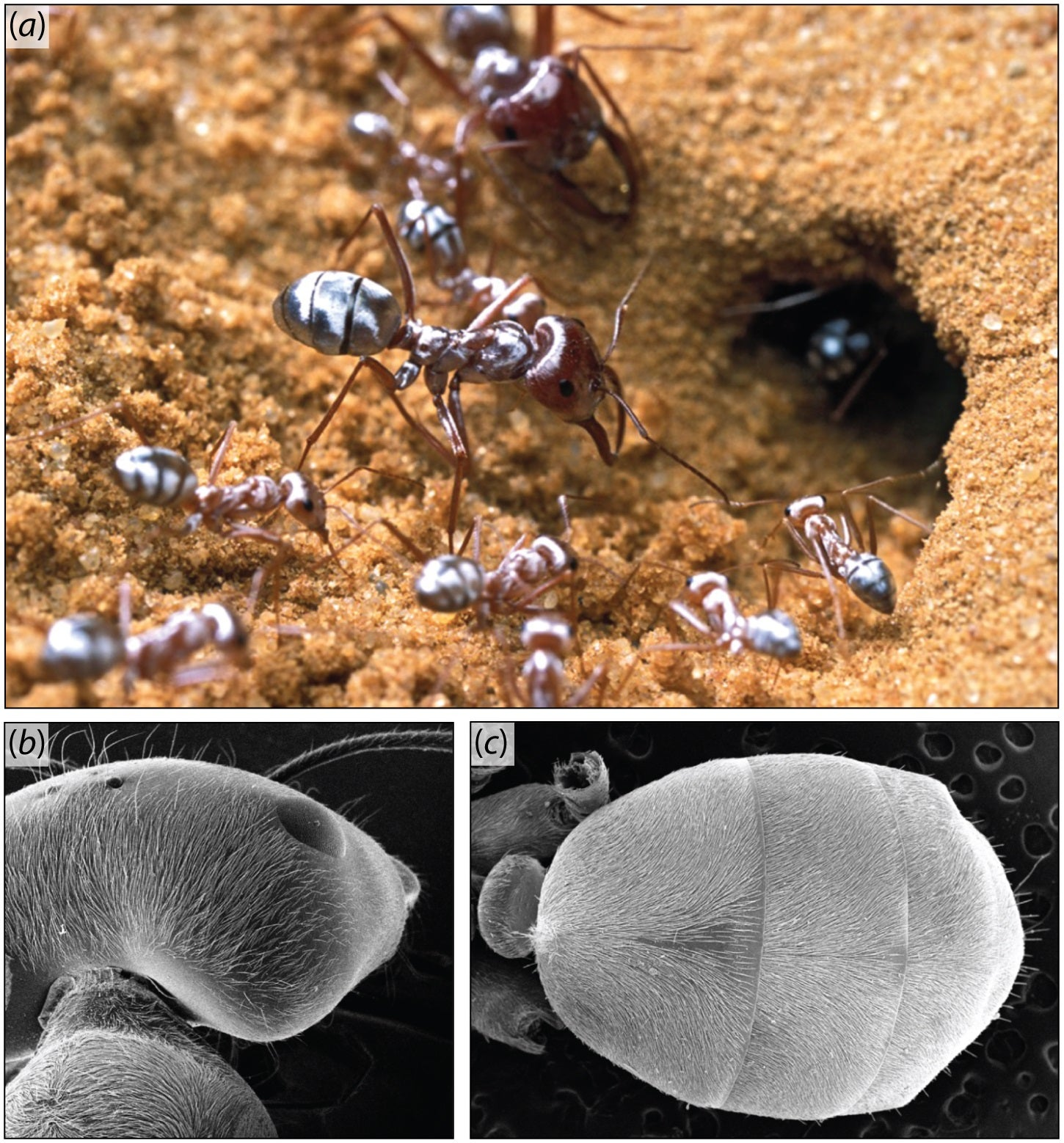 Prism-Like Hairs Help This Ant Beat The Heat