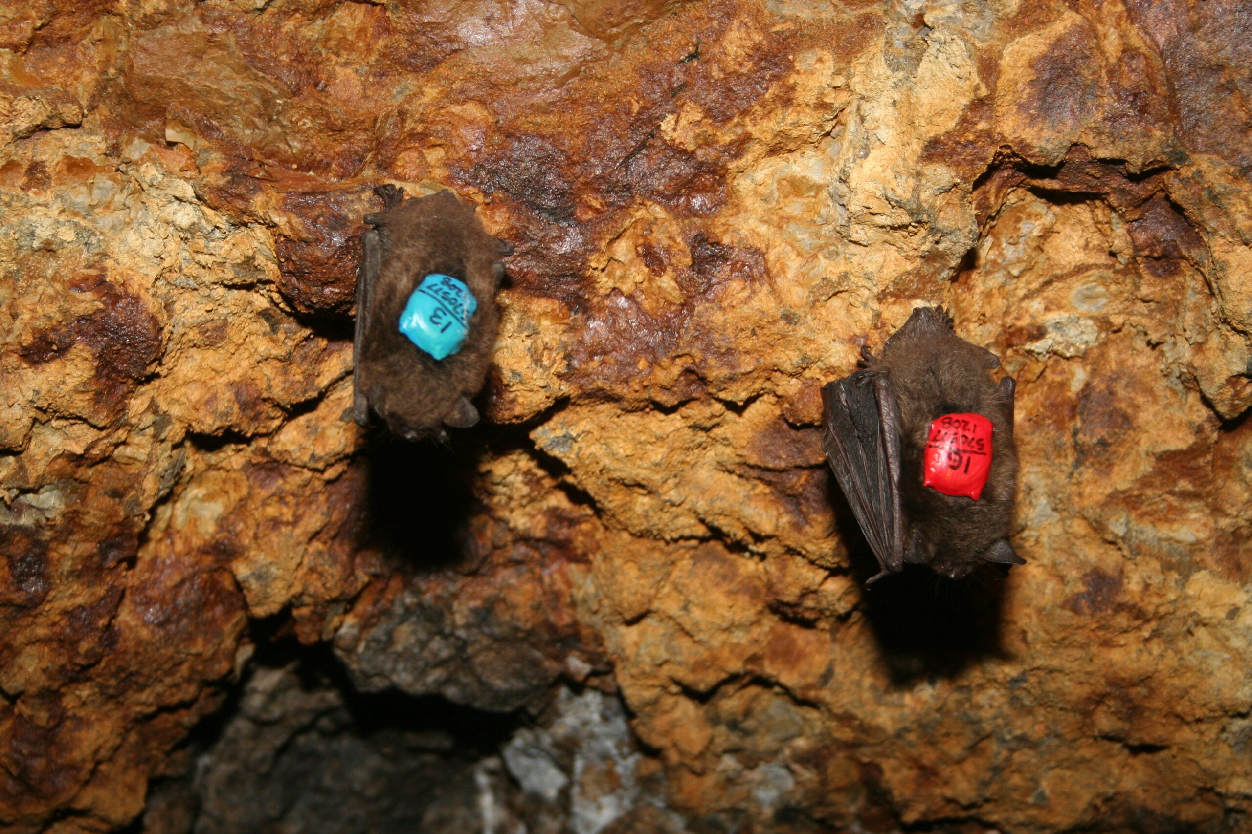 Can Technology Help Biologists Save Bats from Extinction?