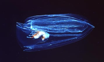 Suck it, sponges: Marine jellies were the first animals to evolve