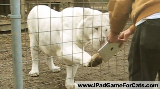 Video: Lions, Tigers, Servals, and Other Wild Felines Playing With an iPad