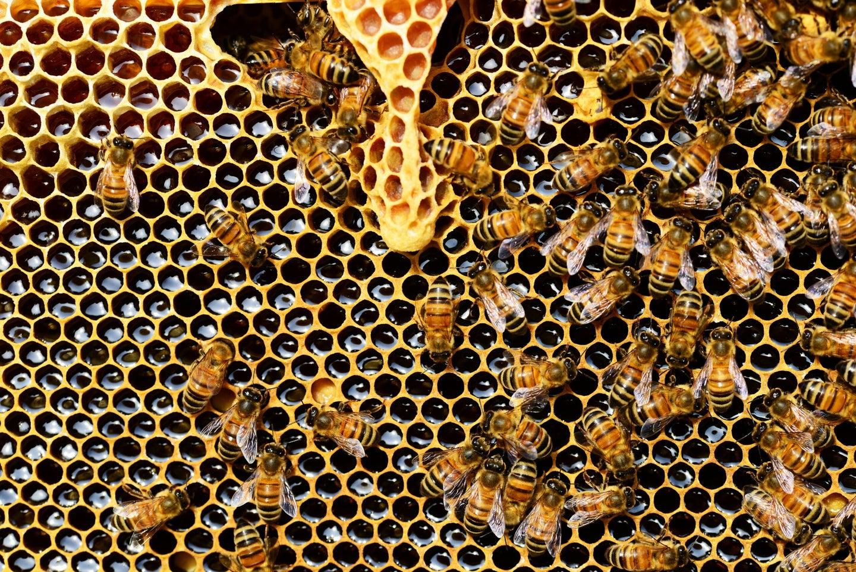 Several dozen bees crawl across a yellow honeycomb.