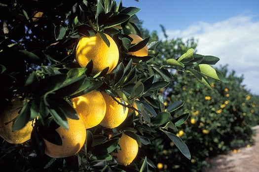 Should We Genetically Engineer The Orange To Save It?