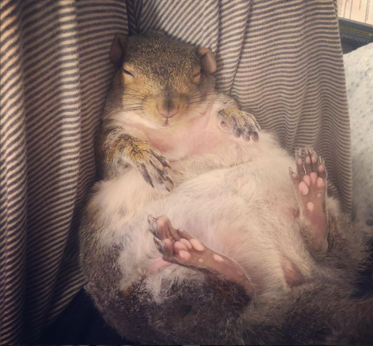 How a pair of wildlife rescuers ended up with a chubby pet squirrel named Thumbelina