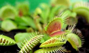 Venus flytraps know not to eat the insects that pollinate them