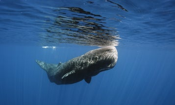 Space weather may be killing sperm whales