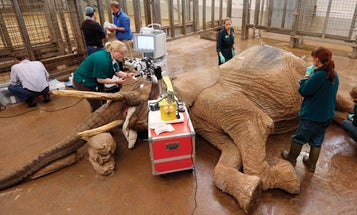 African Elephant's Cataract Operation Is The Biggest Eye Surgery Ever