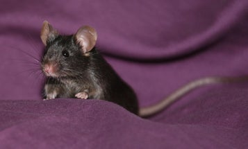 Scientists Create Mice from Reprogrammed Skin Cells