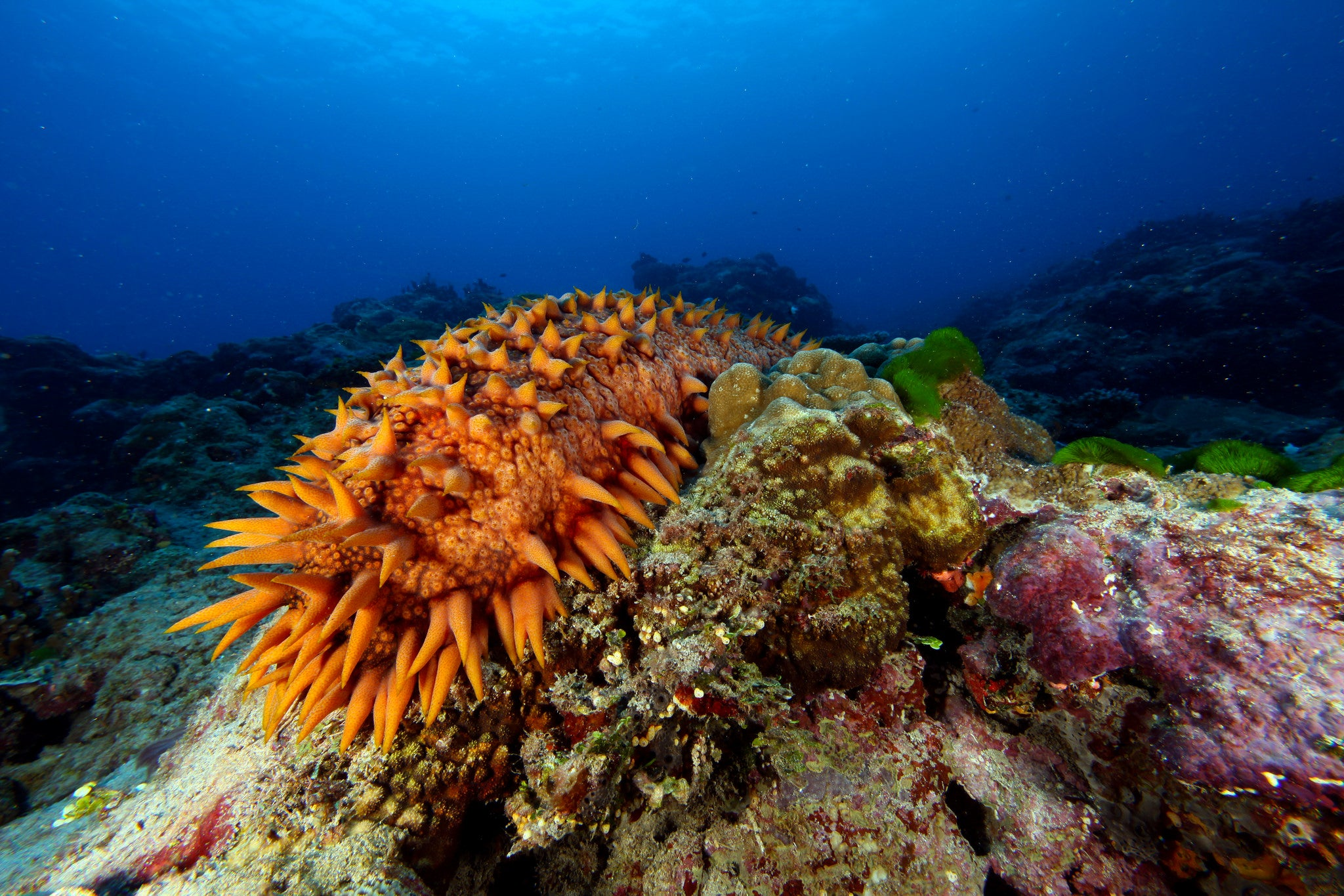 orange spiky sea cucumber in the water