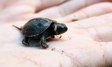 How To Save America's Rarest Turtle: Lower Our Expectations