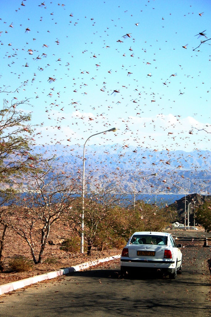 Of Locust Swarms and Cannibals