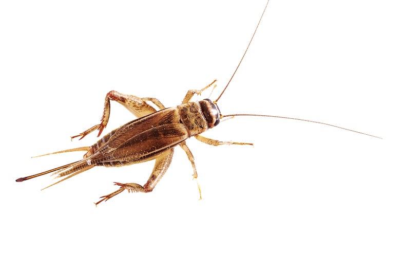 Raise Your Own Edible Crickets