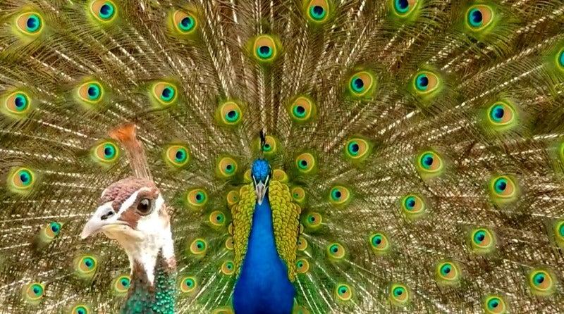 """Peacock"