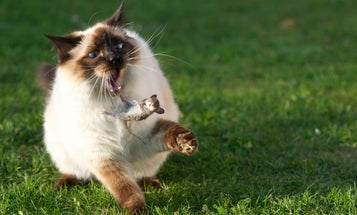 Feral Cats Are A Huge Threat To The Global Ecosystem