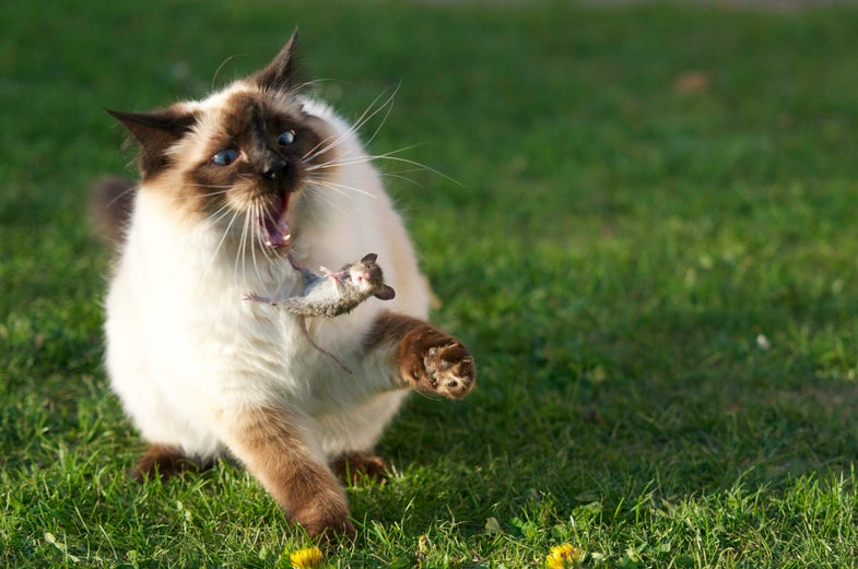 siamese cat toying with mouse