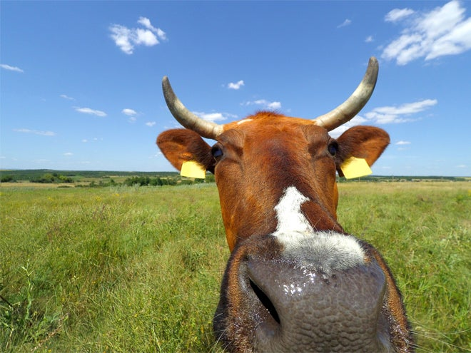 Cow farts are an even bigger problem than we thought