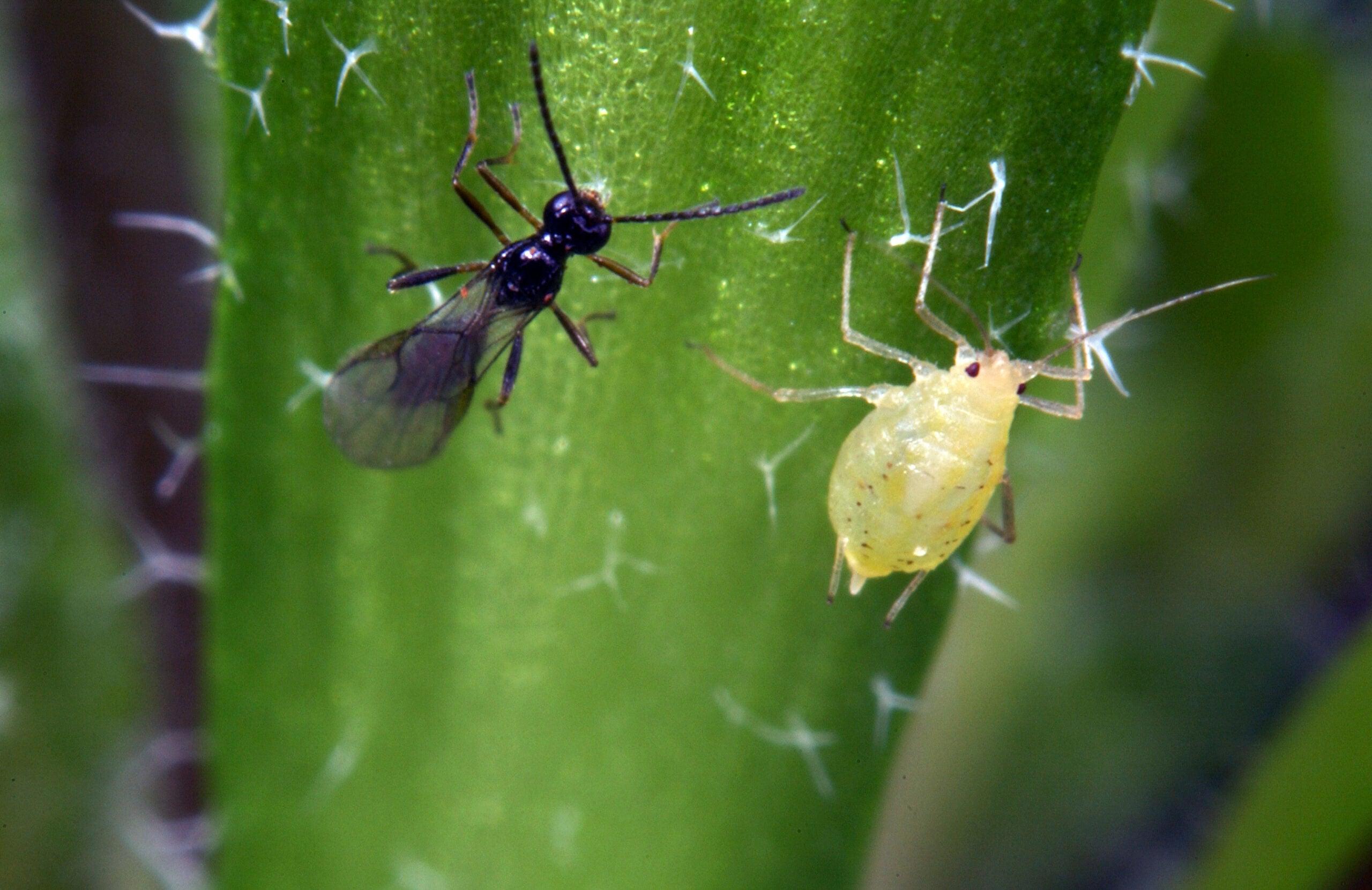 Swarms of Engineered Voodoo Wasps Will Seek and Destroy Crop Pests